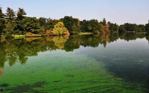 Blue green algae risk to dogs